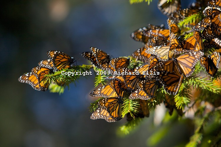 Richard ellis Mexico-Butterfly-030