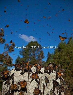 Richard ellis Mexico-Butterfly-047